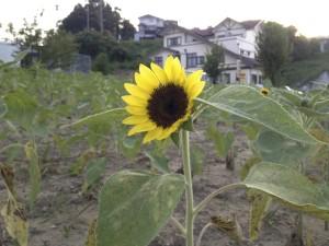 ひまわり植栽事業